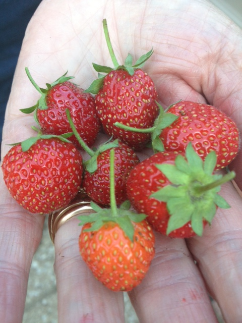 Fragole/Strawberries from Mr Fazio's garden